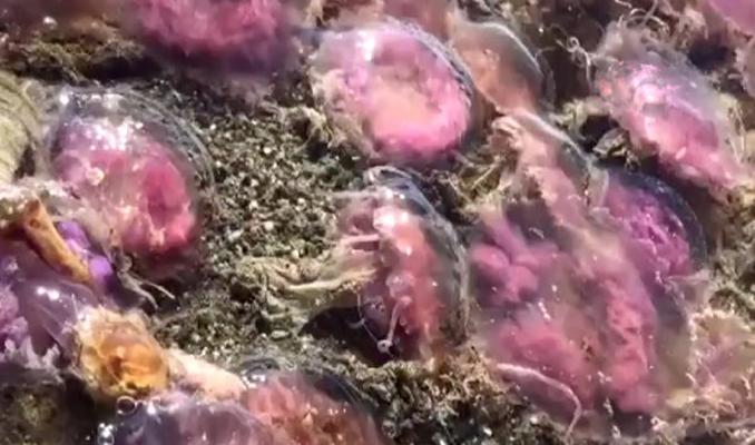 Mor renkli zehirli denizanaları kıyıya vurdu. Temas edilirse…